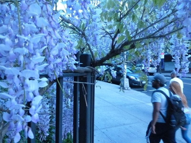 Wisteria vine manhattan new york