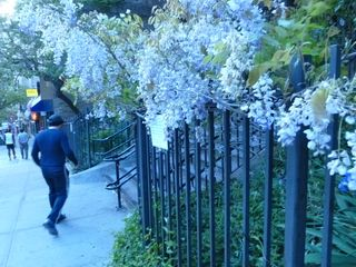 Flowering vine west village new york greenwich garden club