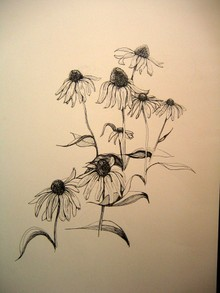 Echinacea_drawing_sketch