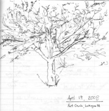 Sakura_evan_cherry_crabapple_tree_r